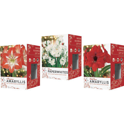 Picture of GSB Amaryllis Gift Box Flower Bulb